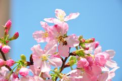 Różowa wiśnia d ładnemu perfumowaniu który zaczyna przyciągać pszczoły i komarnicy początku zapylanie Zdjęcia Royalty Free