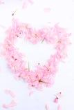 Różowa wiśnia kwitnie w formie serca Fotografia Royalty Free