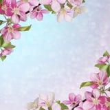 Różowa wiśnia lub karta jabłczana okwitnięcia powitania, zaproszenia/ Obrazy Stock