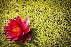 różowa woda lilii Zdjęcia Royalty Free