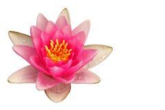Różowa wodna leluja obrazy stock