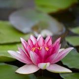 Różowa wodna leluja zdjęcia royalty free