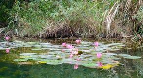 Różowa wodna leluja fotografia royalty free