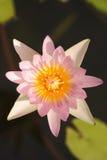 Różowa wodna leluja w świetle słonecznym Obrazy Stock