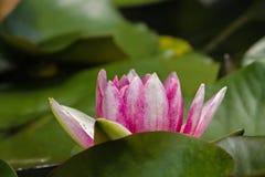 Różowa wodna leluja w małym stawie fotografia stock