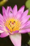 Różowa wodna leluja z pszczołą Zdjęcia Royalty Free