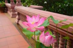 Różowa wodnej lelui selekcyjna ostrość Zdjęcia Stock