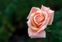 Różowawy Wzrastał z wodnymi kroplami Obraz Stock