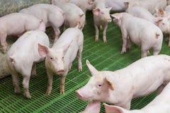Różowe świnie, świnie na gospodarstwie rolnym obrazy royalty free
