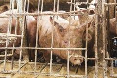 Różowe świnie, świnie na gospodarstwie rolnym zdjęcie stock
