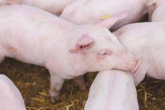 Różowe świnie, świnie na gospodarstwie rolnym zdjęcia royalty free