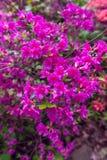 Różowe azalie zdjęcie stock