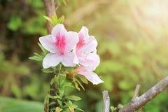 Różowe azalie w parku obrazy stock