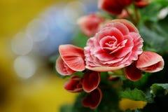 Różowe begonie brać przeciw kolorowemu tłu Zdjęcie Royalty Free