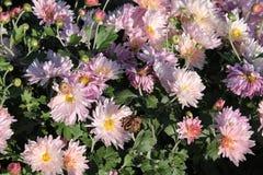 Różowe chryzantemy różowy kwiat ogrodowe Zdjęcie Royalty Free