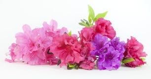 Różowe Czerwone i Purpurowe azalie zdjęcie royalty free