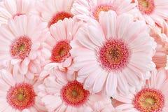 Różowe gerbera stokrotki Fotografia Royalty Free