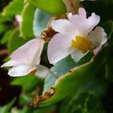 Różowe i białe begonie Obraz Stock