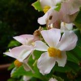 Różowe i białe begonie Obrazy Royalty Free