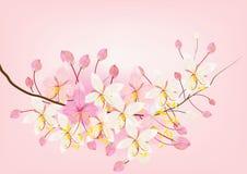 Różowe kasje lub życzyć drzewnego kwiatu na białym tle, wektorowa ilustracja Fotografia Stock