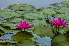 Różowe Kosmate Wodne leluje zdjęcie stock