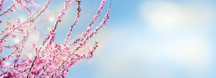 Różowe kwitnie gałąź ornamentacyjna wiśnia przed niebieskim niebem zdjęcia royalty free