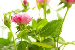 Różowe małe róże Obraz Royalty Free