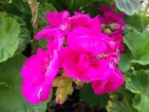 różowe miękkie kolor róże z słońce połyskiem Obraz Royalty Free