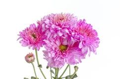 Różowe okwitnięcie flory zdjęcie stock