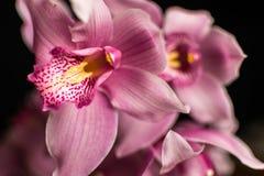 Różowe orchidee, odizolowywać przeciw czarnemu tłu zdjęcia royalty free