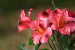 Różowe Peruwiańskie leluje fotografia stock