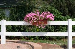 Różowe petunie w kwiatu pudełku Obrazy Royalty Free