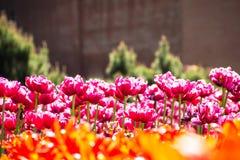 różowe polowe tulipany kwiat światła playnig tło Zdjęcia Royalty Free