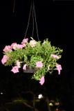 Różowe powłóczyste petunie w pełnym kwiacie Obrazy Stock