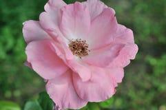 różowe róża makro obraz stock