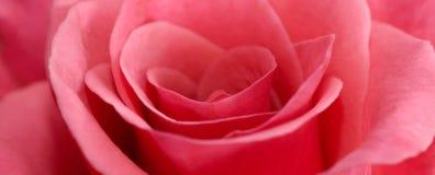 różowe róża makro Obraz Royalty Free