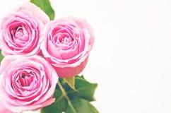 różowe róże Obraz Royalty Free