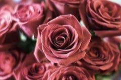 różowe róże zdjęcia stock