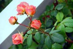 różowe róże zdjęcie stock