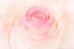 Różowe róże I wod krople Obrazy Stock