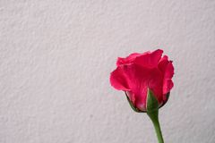 Różowe róże na białym ściennym tle Obrazy Stock