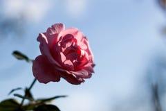 Różowe róże na niebieskim niebie Fotografia Stock