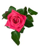 różowe róże na widok zdjęcie royalty free