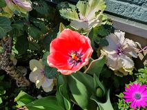 Różowe róże są piękne obrazy royalty free