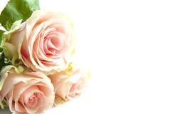 różowe róże trzy Zdjęcia Stock