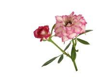 różowe róże varigated biel Obraz Royalty Free
