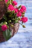 Różowe róże w brown koszu na błękitnym drewnianym tle Fotografia Stock