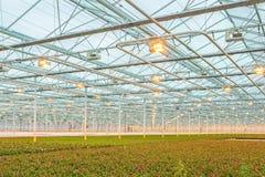 Różowe róże w Holenderskiej szklarni Obrazy Stock