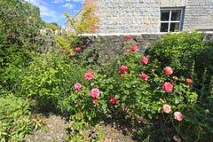 Różowe róże w kraju ogródzie Zdjęcia Stock