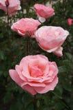 Różowe róże w ogródzie różanym Retiro park Zdjęcie Royalty Free